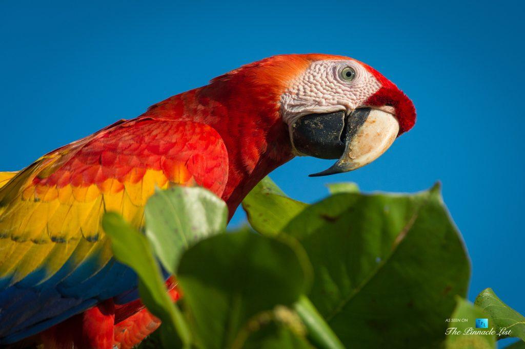 Tambor Tropical Beach Resort - Tambor, Puntarenas, Costa Rica - Scarlet Macaw Parrot
