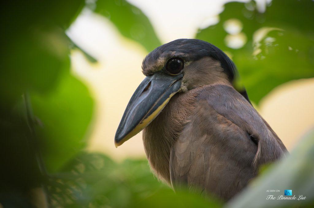 Tambor Tropical Beach Resort - Tambor, Puntarenas, Costa Rica - Boat Billed Heron