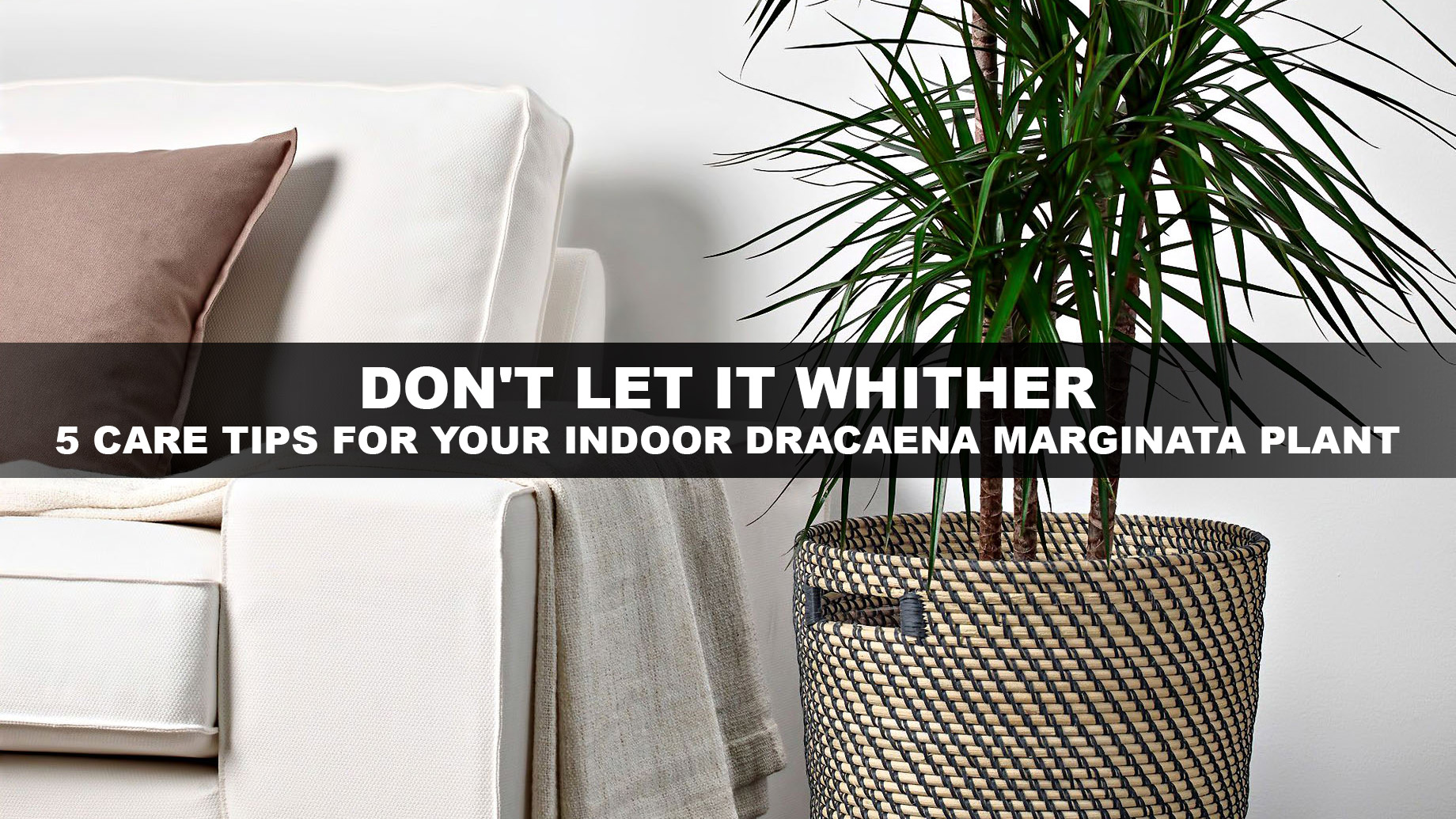 Don't Let it Whither - 5 Care Tips for Your Indoor Dracaena Marginata Plant
