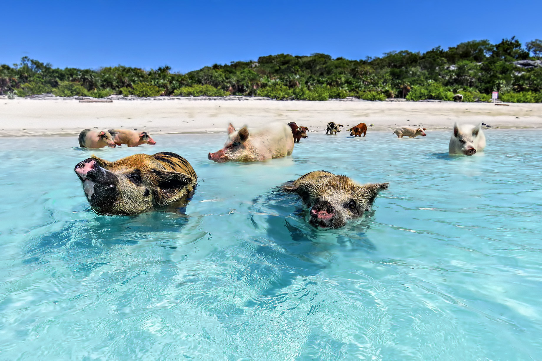 Swim with those Famous Pigs – Take A Luxury Getaway To The Bahamas