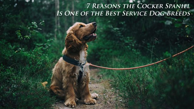 Luxury Living - 7 Reasons the Cocker Spaniel Is One of the Best Service Dog Breeds