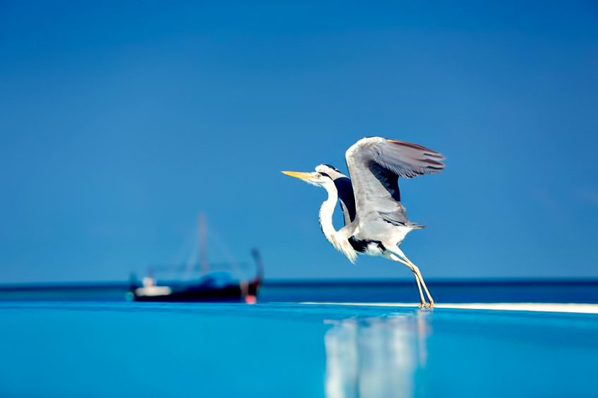 Velassaru Maldives Luxury Resort - South Male Atoll, Maldives - Bird