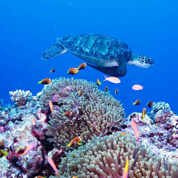 Six Senses Laamu Luxury Resort - Laamu Atoll, Maldives - Sea Turtle
