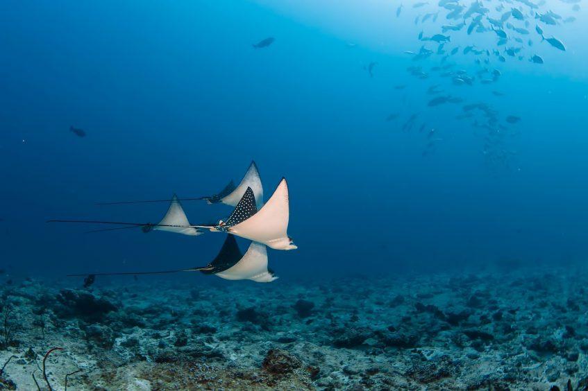 Six Senses Laamu Luxury Resort - Laamu Atoll, Maldives - Manta Rays