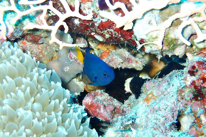 The Nautilus Maldives Luxury Resort - Thiladhoo Island, Maldives - Ocean Reef Blue Fish