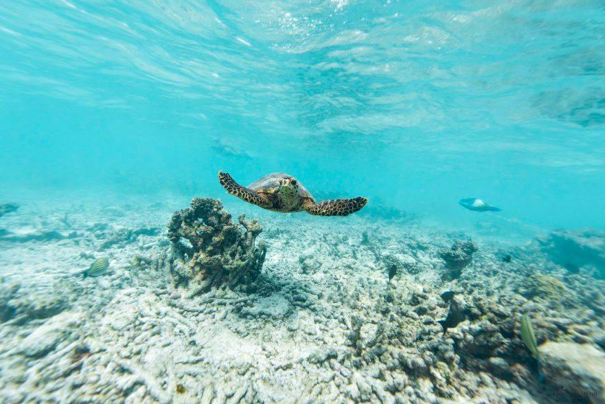 Gili Lankanfushi Luxury Resort - North Male Atoll, Maldives - Underwater Sea Turtle