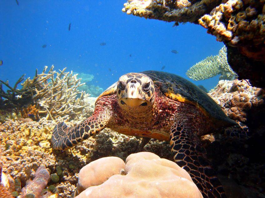 W Maldives Luxury Resort - Fesdu Island, Maldives - Tropical Ocean Turtle