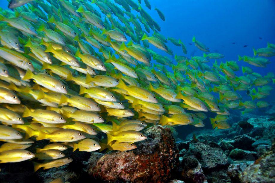 Cheval Blanc Randheli Luxury Resort - Noonu Atoll, Maldives - Yellow Fish Underwater