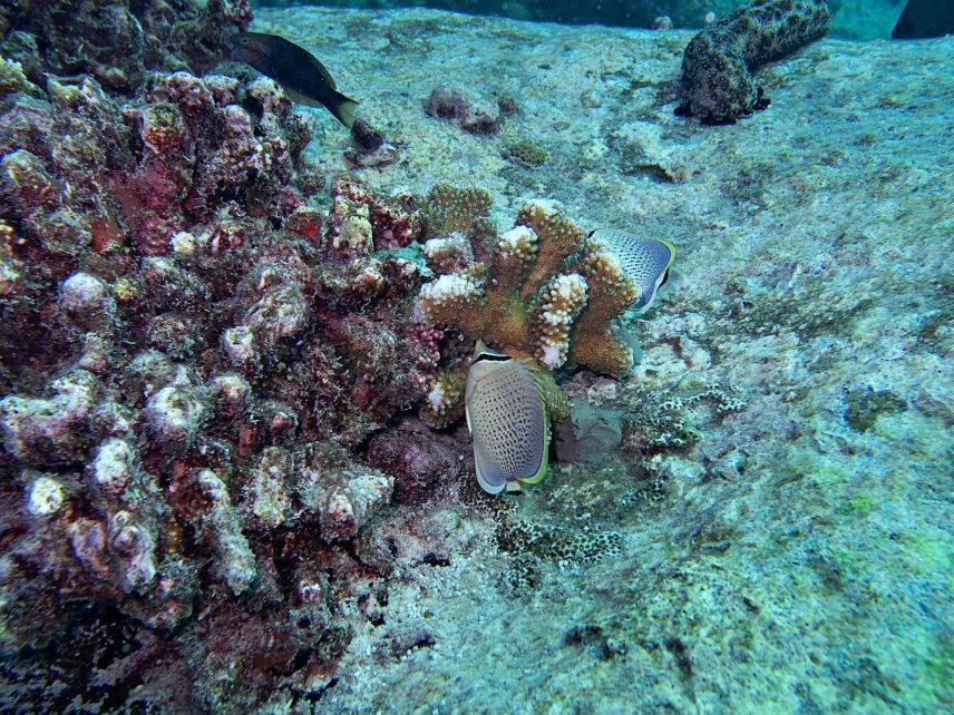 Six Senses Zil Pasyon Luxury Resort - Felicite Island, Seychelles - Tropical Fish Coral Reef