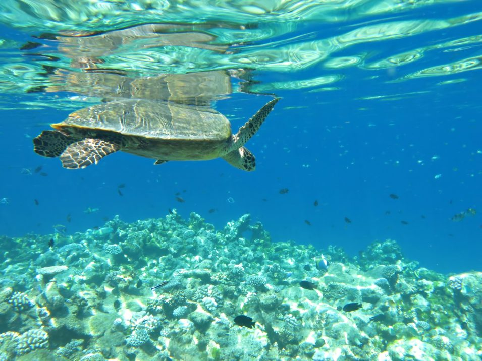 One&Only Reethi Rah Luxury Resort - North Male Atoll, Maldives - Underwater Sea Turtle