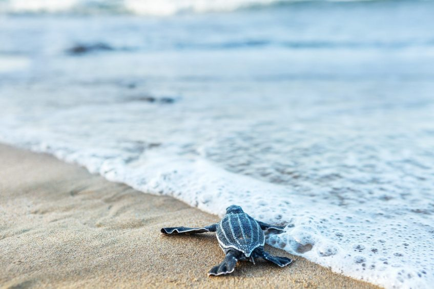 The St. Regis Bahia Beach Luxury Resort - Rio Grande, Puerto Rico - Sea Turtles Hatching